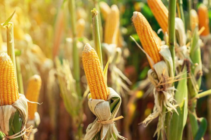 Отраслевые ассоциации просят ограничить экспорт кукурузы из Украины
