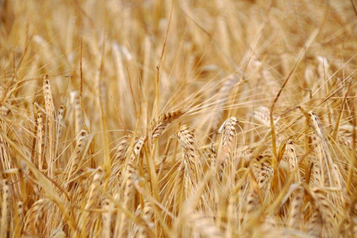 Экспортные цены на украинскую пшеницу начали снижаться
