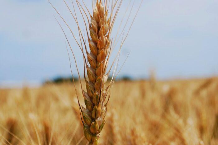 Украина экспортировала почти 15 млн тонн пшеницы