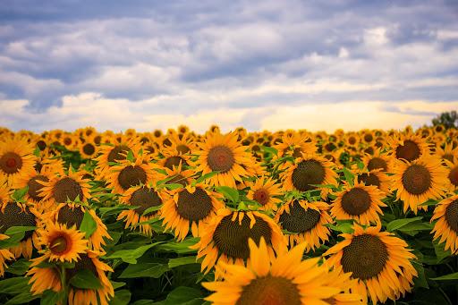 Минэкономики может запретить экспорт семян подсолнечника
