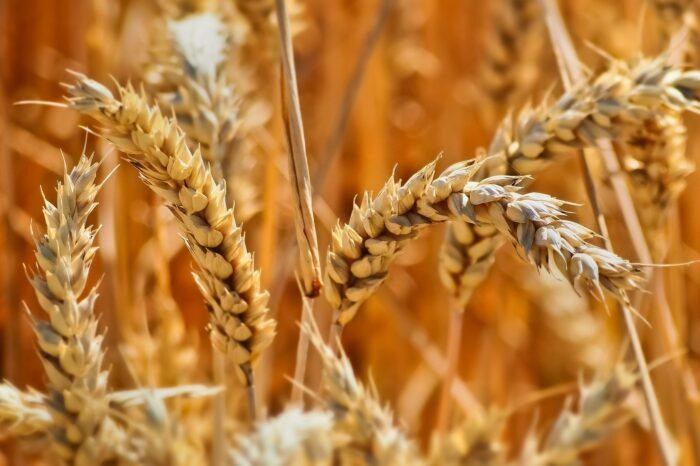 Урожай зерновых в Украине может достичь рекордного уровня