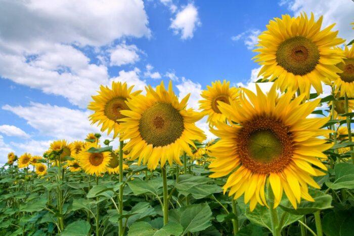 Украина экспортировала 88% согласованного в меморандуме подсолнечного масла