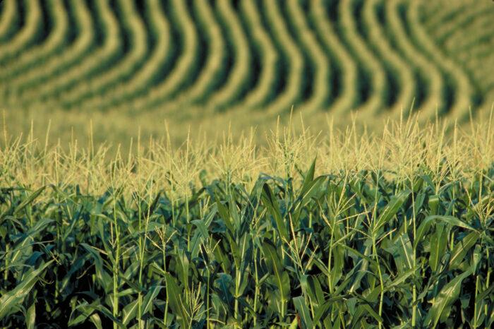 Кукуруза в 2021/22 сезоне. Урожай, экспорт и логистика